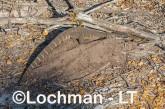 Varanus rosenbergi LLT-525 ©Jiri Lochman - Lochman LT