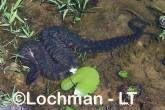 Acrochordus arafurae Arafura File Snake HBY-479 ©Hans &Judy Beste - Lochman LT
