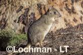 Bettongia penicillata - Woylie LLT-643 ©Jiri Lochman - Lochman LT