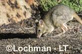 Bettongia penicillata - Woylie LLT-645 ©Jiri Lochman - Lochman LT