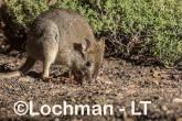 Bettongia penicillata - Woylie LLT-646 ©Jiri Lochman - Lochman LT