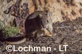 Bettongia penicillata - Woylie LLT-647 ©Jiri Lochman - Lochman LT