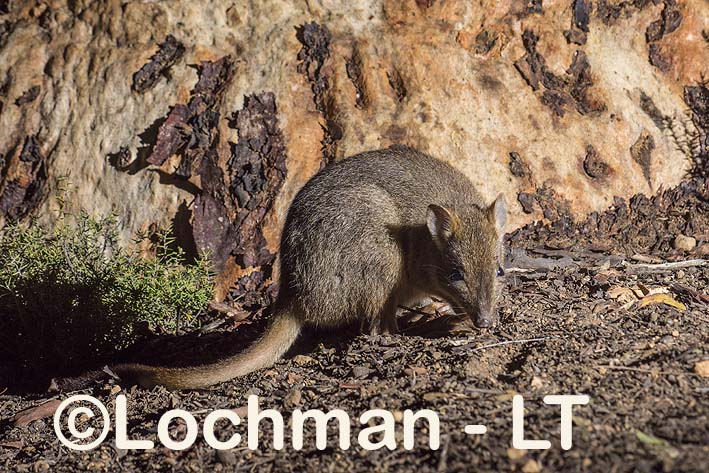 Brush-tailed Bettong – Woylie