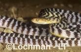 Boiga irregularis Brown Tree Snake LEY-282 ©Jiri Lochman - Lochman LT