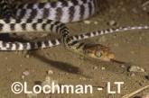 Boiga irregularis Brown Tree Snake LEY-294 ©Jiri Lochman - Lochman LT