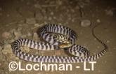 Boiga irregularis Brown Tree Snake LEY-297 ©Jiri Lochman - Lochman LT