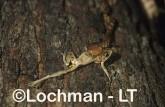 Boiga irregularis Brown Tree Snake PPY-690 ©Jiri Lochman - Lochman LT