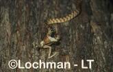 Boiga irregularis Brown Tree Snake PPY-692 ©Jiri Lochman - Lochman LT