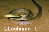 Brown Tree Snake - Boiga irregularis