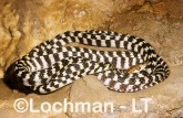 Brown Tree Snake KK-066 © Lochman Transparencies