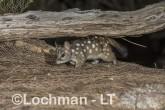 Dasyurus geoffroii - Chuditch LLT-336 ©Jiri Lochman - Lochman LT
