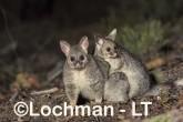 Trichosurus vulpecula - Common Brushtail Possum LLT-639 ©Jiri Lochman - Lochman LT