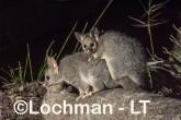 Trichosurus vulpecula - Common Brushtail Possum LLT-640 ©Jiri Lochman - Lochman LT