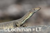 Varanus gouldii LLT-661 ©Jiri Lochman - Lochman LT