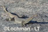 Varanus gouldii LLT-664 ©Jiri Lochman - Lochman LT