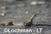 Varanus gouldii LLT-667 ©Jiri Lochman - Lochman LT