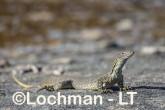 Varanus gouldii LLT-668 ©Jiri Lochman - Lochman LT