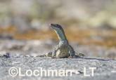 Varanus gouldii LLT-669 ©Jiri Lochman - Lochman LT