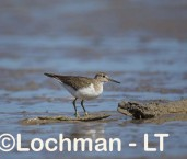 Actitis hypoleucos - Common Sandpiper LLT-762 ©Jiri Lochman - Lochman LT