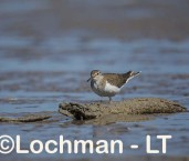 Actitis hypoleucos - Common Sandpiper LLT-763 ©Jiri Lochman - Lochman LT