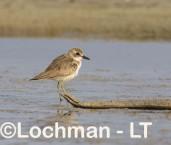 Charadrius leschenaulti - Greater Sand Plover LLT-761 ©Jiri Lochman - Lochman LT