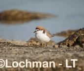 Charadrius ruficapillus - Red-capped Dotterel LLN-579 ©Jiri Lochman - Lochman LT