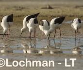 Cladorhynchus leucocephalus - Banded Stilt LLT-774 ©Jiri Lochman - Lochman LT