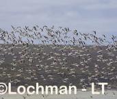 Cladorhynchus leucocephalus - Banded Stilt LLT-803 ©Jiri Lochman - Lochman LT
