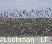 Cladorhynchus leucocephalus - Banded Stilt LLT-804 ©Jiri Lochman - Lochman LT
