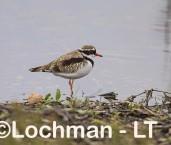 Elseyornis melanops - Black-fronted Dotterel LLT-900 ©Jiri Lochman - Lochman LT