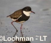Erythrogonys cinctus - Red-kneed Dotterel LLO-596 ©Jiri Lochman - Lochman LT