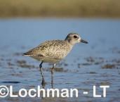 Pluvialis squatarola - Grey Plover LLT-816 ©Jiri Lochman - Lochman LT