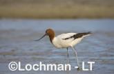 Recurvirostra novaehollandiae - Red-necked Avocet LLT-869 ©Jiri Lochman - Lochman LT