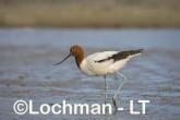 Recurvirostra novaehollandiae - Red-necked Avocet LLT-870 ©Jiri Lochman - Lochman LT