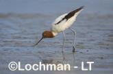 Recurvirostra novaehollandiae - Red-necked Avocet LLT-871 ©Jiri Lochman - Lochman LT