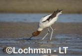 Recurvirostra novaehollandiae - Red-necked Avocet LLT-874 ©Jiri Lochman - Lochman LT