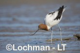 Recurvirostra novaehollandiae - Red-necked Avocet LLT-875 ©Jiri Lochman - Lochman LT