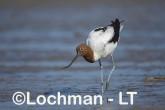 Recurvirostra novaehollandiae - Red-necked Avocet LLT-876 ©Jiri Lochman - Lochman LT