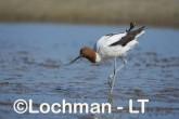 Recurvirostra novaehollandiae - Red-necked Avocet LLT-877 ©Jiri Lochman - Lochman LT