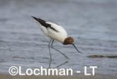 Recurvirostra novaehollandiae - Red-necked Avocet LLT-878 ©Jiri Lochman - Lochman LT