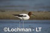 Recurvirostra novaehollandiae - Red-necked Avocet LLT-880 ©Jiri Lochman - Lochman LT