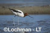 Recurvirostra novaehollandiae - Red-necked Avocet LLT-881 ©Jiri Lochman - Lochman LT