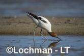 Recurvirostra novaehollandiae - Red-necked Avocet LLT-882 ©Jiri Lochman - Lochman LT