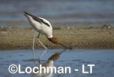 Recurvirostra novaehollandiae - Red-necked Avocet LLT-883 ©Jiri Lochman - Lochman LT