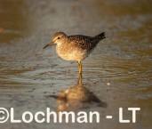 Tringa glareola - Wood Sandpiper LLN-576 ©Jiri Lochman - Lochman LT