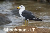Larus pacificus - Pacific Gull LLH-728 © Lochman Transparencies