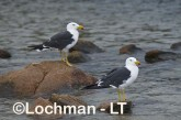 Larus pacificus - Pacific Gull LLH-730 © Lochman Transparencies