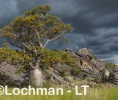 Adansonia gregorii Boab LLK-253 ©Jiri Lochman - Lochman LT