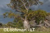 Adansonia gregorii Boab LLK-720 ©Jiri Lochman - Lochman LT