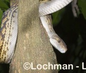 Amethystine Python LLF-469 © Lochman Transparencies